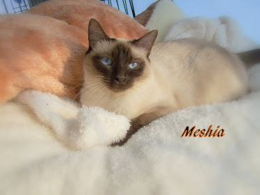 Meshia our chocolate pt queen daughter to Mocha and Charmin.