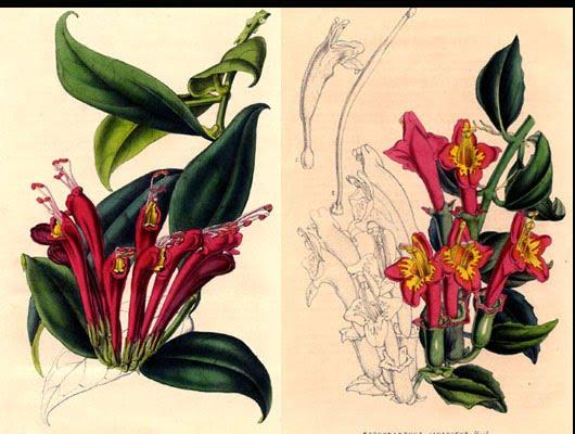 goldfish plant pictures. columnea goldfish plant.