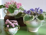 AFRICAN VIOLETS