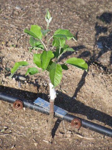 Выращивания яблонь в домашних условиях