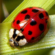 I Heart Ladybugs