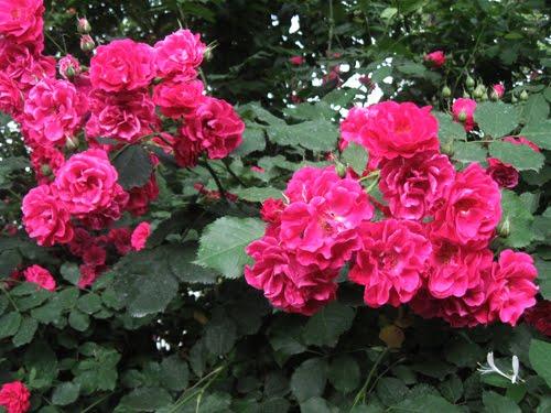 phytotherapie traitement naturel avec de plantes 323 teinture de petales de roses. Black Bedroom Furniture Sets. Home Design Ideas