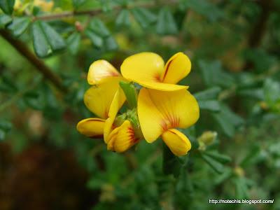 Pultenea scabra regeneration after bush fire. fabaceae flowers. Bacon and Egg flowers.