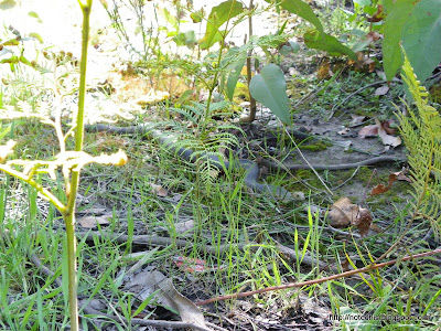 Copperhead recovery after Black Saturday. Reptiles and bushfire
