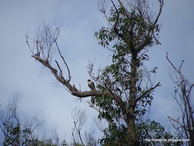 Peregrine Falcon, Kinglake West 2011. Fauna recovery after bushfire. Two years after Black Saturday