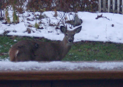 doe peeks over the back deck railing