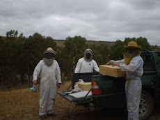 Estudiando la miel monofloral de eucaliptus en la IV Región de Chile