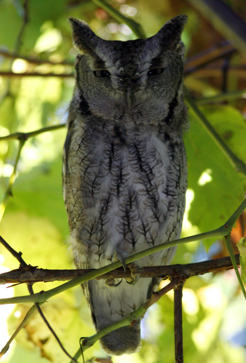 Screech owl 1