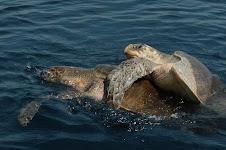 Tortugas marinas en El Salvador...