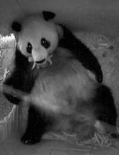 Yang Yang and her panda cub