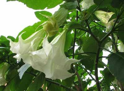 Angel Trumpet Flower on The Plant  I Call It Hangy Tube Flower  Is Angel Trumpet  It Is