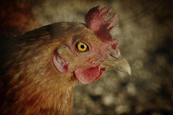 ¡Que viene la gripe aviar!