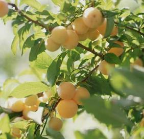 how to grow longan fruit trees