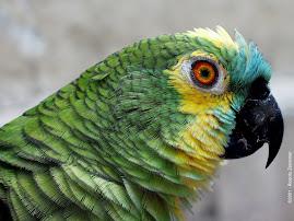Papagaio falador