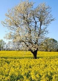 Árvore  bonita e frutífera