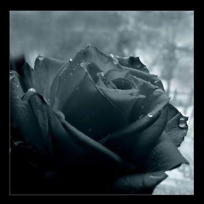 La Rosa Nera di Daubmir