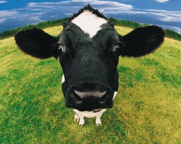 mucca pazza
