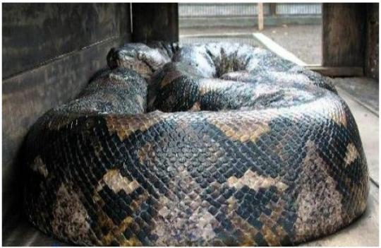 An Indonesian caught a 14.85m long Python weighing 447kg,