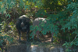 Cambodia - Hard life for the buffalos raised by minorities... and regularly sacrificed
