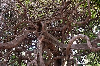 Ratanakiri - Weird trees