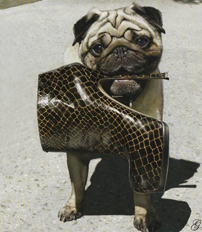 [pug+and+shoe]