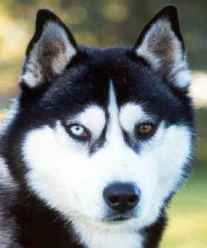 huskies with different colored eyes