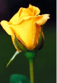 Yellow Rose Design