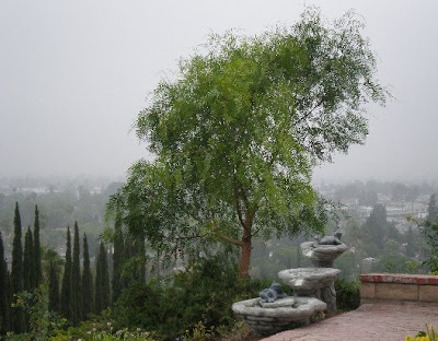 California pepper tree, photo by Rosemary West © 2009