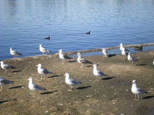 Seagulls, photo by Rosemary West © 2008