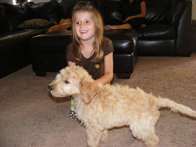 golden retriever mixed with a poodle. retriever/poodle mix) and