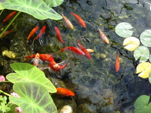 How do high nitrite levels affect fish health the garden for Pond fish diseases