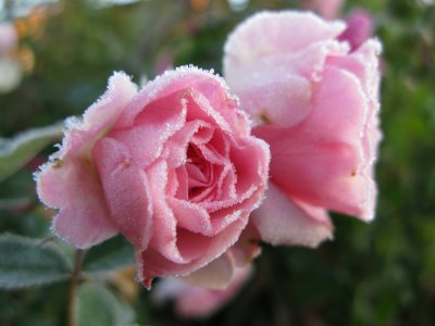 [rose+frost]