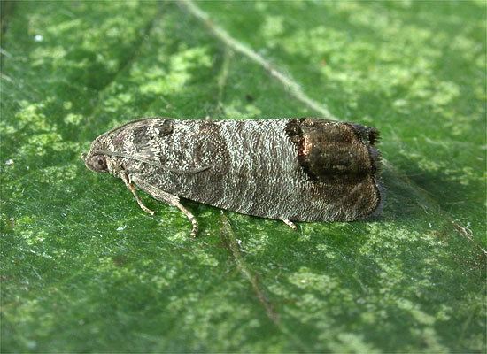 during which moth does the minimum Endosis sarcitrella acquired its common name from the distinct white shoulders and prothorax which contrast its dark forewings, making it easily distinguished while the larva feeds mainly on dried food goods, it will attack clothes and rugs on rare occasions it is reported to be a greater pest in europe than in the united.