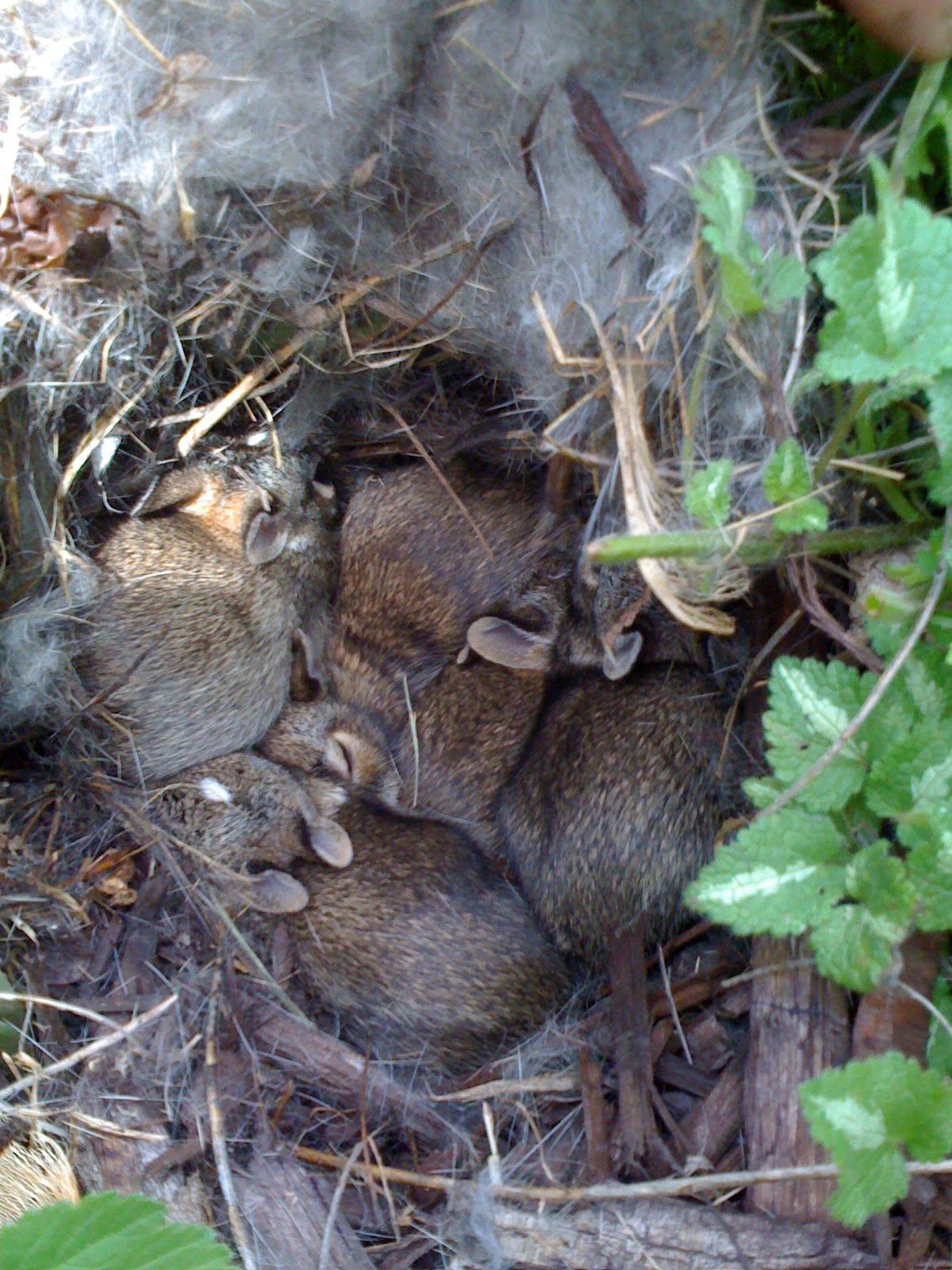 Our Garden Path Baby Bunny Nest Found
