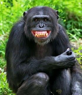 gambar monyet kelakar - foto hewan - gambar monyet kelakar