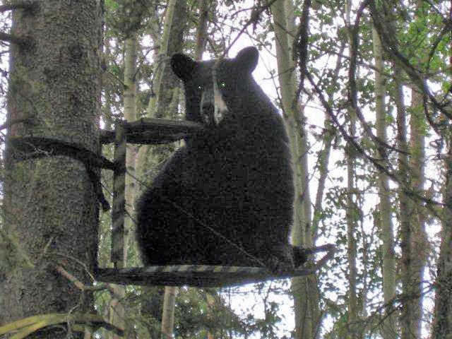 Bearcat tree stand