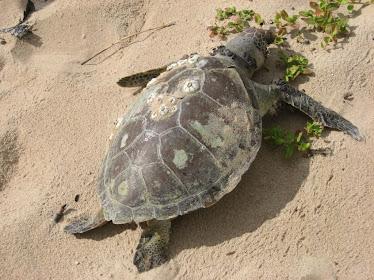 Trataruga encontrada morta na praia por ter se alimentado com  sacos plásticos