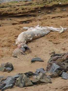 Filhote de baleia que encontramos morto em ARATUBA, em setembro de 2010