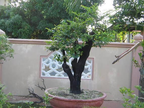 Pokok Kayu Hitam,