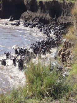 La gran migración del Ñu, del Masai-Mara al Serengueti