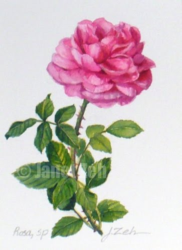 Pink Rose Botanical Painting
