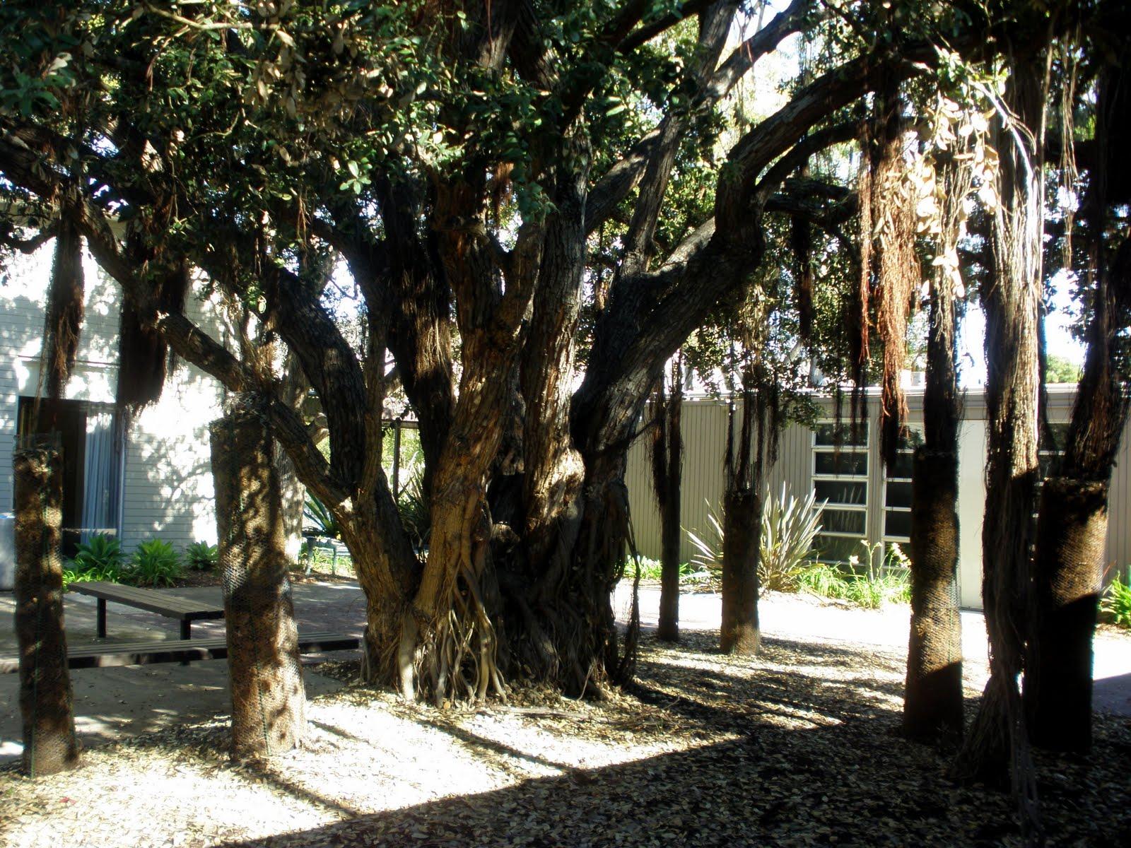 Natural Treasure New Zealand Christmas Tree At Ucsd