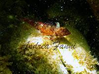 Tripterygion spp. - fotografia subacquea