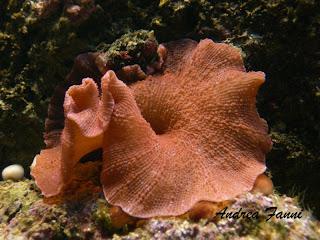 actinodiscus