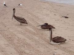 Pelicans!!