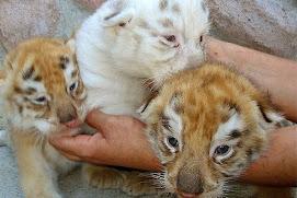 Tigres en peligro de extinción
