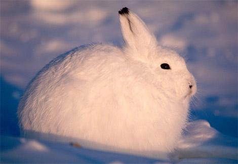 Tundra Arctic Hare