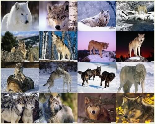 wallpaper wolf. 2010 wolf wallpaper. wolf