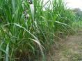 Benih rumput