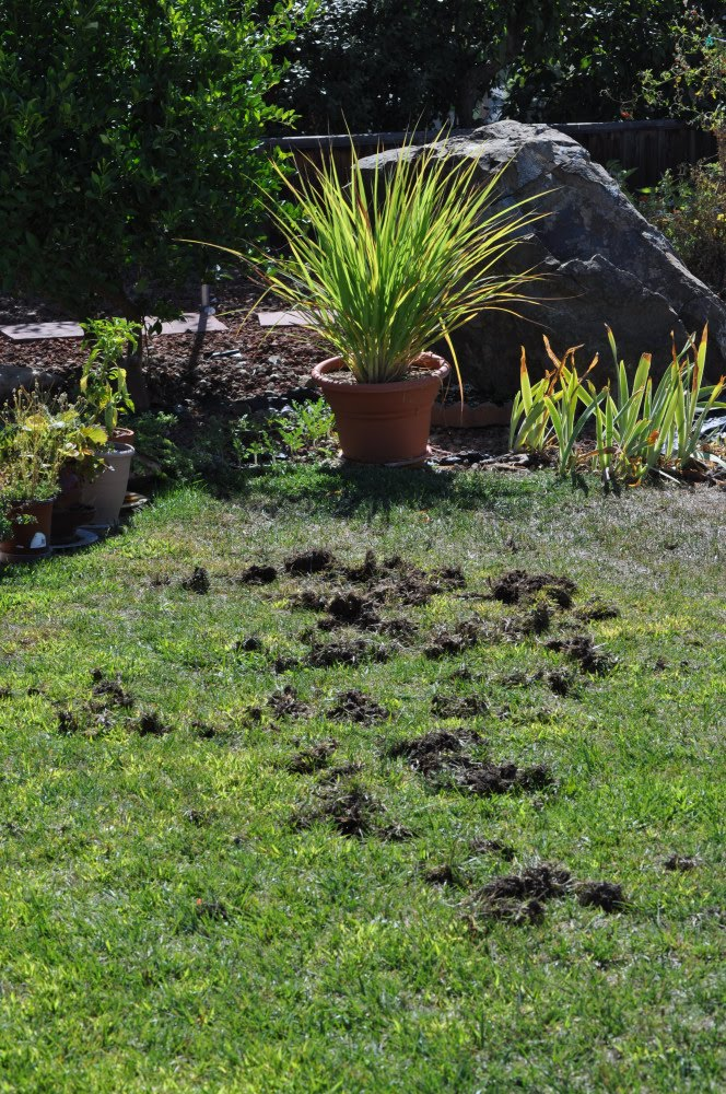 raccoon holes in yard so now we have the lawn out of